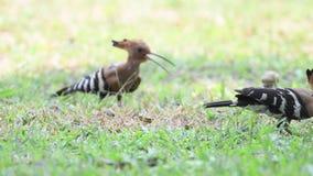 Ευρασιατικό πουλί Hoopoe στην Ταϊλάνδη και τη Νοτιοανατολική Ασία φιλμ μικρού μήκους