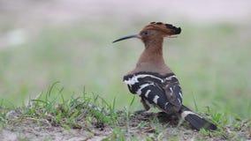 Ευρασιατικό πουλί Hoopoe στην Ταϊλάνδη και τη Νοτιοανατολική Ασία απόθεμα βίντεο