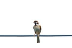 Ευρασιατικό σπουργίτι δέντρων, πουλί, στο καλώδιο Στοκ Εικόνα