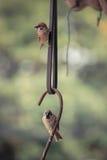 Ευρασιατικό σπουργίτι δέντρων πουλιών σε ένα νύχι σιδήρου Στοκ Εικόνες