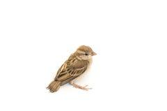 Ευρασιατικό σπουργίτι δέντρων πουλιών Στοκ Εικόνα