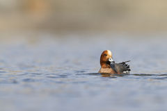 ευρασιατικό σφυριχτάρι Στοκ εικόνα με δικαίωμα ελεύθερης χρήσης
