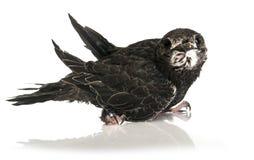 Ευρασιατικό Apus Στοκ φωτογραφία με δικαίωμα ελεύθερης χρήσης