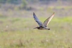 Ευρασιατικό arquata Numenius σιγλίγουρων που πετά, κατά την πτήση Στοκ φωτογραφία με δικαίωμα ελεύθερης χρήσης