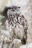 Ευρασιατικό bubo bubo αετός-κουκουβαγιών Στοκ Εικόνες