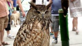 Ευρασιατικό bubo bubo αετός-κουκουβαγιών απόθεμα βίντεο