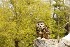 Ευρασιατικό bubo bubo αετός-κουκουβαγιών Στοκ φωτογραφία με δικαίωμα ελεύθερης χρήσης
