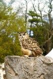 Ευρασιατικό bubo bubo αετός-κουκουβαγιών Στοκ εικόνες με δικαίωμα ελεύθερης χρήσης