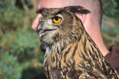 Ευρασιατικό bubo bubo αετός-κουκουβαγιών στοκ φωτογραφίες με δικαίωμα ελεύθερης χρήσης