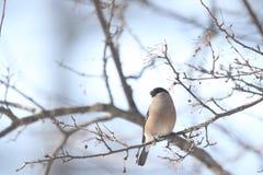 Ευρασιατικό Bullfinch στον κλάδο του δέντρου Στοκ φωτογραφίες με δικαίωμα ελεύθερης χρήσης