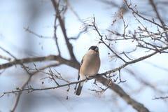Ευρασιατικό Bullfinch στον κλάδο του δέντρου Στοκ φωτογραφία με δικαίωμα ελεύθερης χρήσης