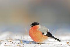 Ευρασιατικό Bullfinch Στοκ Εικόνες