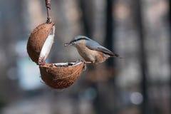 Ευρασιατικό europaea Sitta τσοπανάκων που παίρνει τα καρύδια από τον τροφοδότη πουλιών Στοκ εικόνες με δικαίωμα ελεύθερης χρήσης