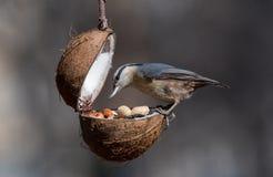 Ευρασιατικό europaea Sitta τσοπανάκων που παίρνει τα καρύδια από τον τροφοδότη πουλιών Στοκ Εικόνες