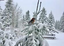 Ευρασιατικό jay glandarius Garrulus στο χιονώδες κομψό δέντρο στοκ φωτογραφία