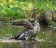 Ευρασιατικό Sparrowhawk που παίρνει ένα λουτρό Στοκ εικόνα με δικαίωμα ελεύθερης χρήσης