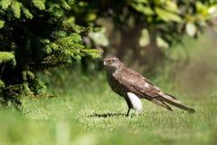 Ευρασιατικό Sparrowhawk Στοκ φωτογραφίες με δικαίωμα ελεύθερης χρήσης