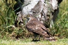 Ευρασιατικό Sparrowhawk Στοκ Εικόνα