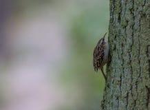Ευρασιατικό Treecreeper Στοκ φωτογραφία με δικαίωμα ελεύθερης χρήσης