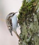 Ευρασιατικό Treecreeper (familiaris Certhia) στοκ φωτογραφία με δικαίωμα ελεύθερης χρήσης