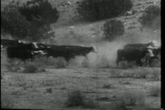 Ευρεία πυροβοληθείσα άτακτη φυγή βοοειδών απόθεμα βίντεο