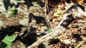 Ευρωπαϊκά άγρια silvestris felis γατών που προσέχουν τη κάμερα φιλμ μικρού μήκους