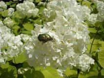 Ευρωπαϊκά άσπρα λουλούδια «Roseum» cranberrybush με τον πράσινο chafer κάνθαρο στοκ φωτογραφίες με δικαίωμα ελεύθερης χρήσης