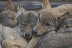 Ευρωπαϊκά γκρίζα κουτάβια λύκων που αγκαλιάζουν μαζί, Λύκος Λύκου Canis στοκ φωτογραφία με δικαίωμα ελεύθερης χρήσης