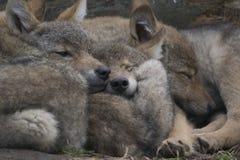 Ευρωπαϊκά γκρίζα κουτάβια λύκων που αγκαλιάζουν μαζί, Λύκος Λύκου Canis στοκ εικόνα