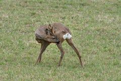 Ευρωπαϊκά ελάφια αυγοτάραχων buck που φαγουρίζουν στοκ φωτογραφία με δικαίωμα ελεύθερης χρήσης