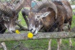 Ευρωπαϊκά ζώα mouflon πίσω από το φράκτη που τρώει τις πικραλίδες στοκ φωτογραφία με δικαίωμα ελεύθερης χρήσης