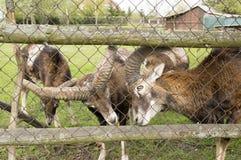 Ευρωπαϊκά ζώα mouflon πίσω από το φράκτη στοκ εικόνες