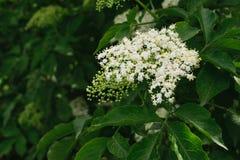 Ευρωπαϊκά μαύρα elderberry & x28  Nigra & x29 Sambucus  λουλούδια στοκ φωτογραφία με δικαίωμα ελεύθερης χρήσης