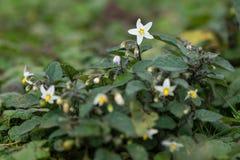 Ευρωπαϊκά μαύρα nightshade & x28 Solanum nigrum& x29  στο λουλούδι Στοκ Εικόνα