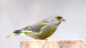 Ευρωπαϊκά πράσινα finch chloris Carduelis στον τροφοδότη χειμερινών πουλιών απόθεμα βίντεο