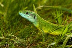 Ευρωπαϊκά πράσινα viridis Lacerta σαυρών στοκ φωτογραφία