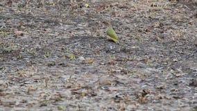 Ευρωπαϊκά πράσινα viridis Picus δρυοκολαπτών που ψάχνουν τα τρόφιμα την πρώιμη άνοιξη στο έδαφος απόθεμα βίντεο