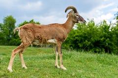 Ευρωπαϊκά πρόβατα Ovis mouflon ammon musimon στοκ εικόνα