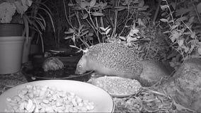Ευρωπαϊκά τρόφιμα γατών σίτισης σκαντζόχοιρων στον κήπο κατά τη διάρκεια της νύχτας απόθεμα βίντεο