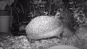 Ευρωπαϊκά τρόφιμα γατών σίτισης σκαντζόχοιρων στον κήπο κατά τη διάρκεια της νύχτας φιλμ μικρού μήκους