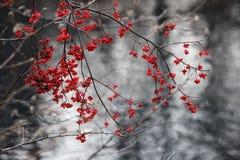 Ευρωπαϊκά φρούτα europaea Euonymus αξόνων στο φθινόπωρο στοκ εικόνες