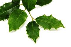 Ευρωπαϊκά φύλλα ελαιόπρινου στοκ φωτογραφίες