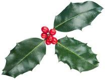 Ευρωπαϊκά φύλλα και φρούτα aquifolium της Holly Ilex Στοκ φωτογραφία με δικαίωμα ελεύθερης χρήσης