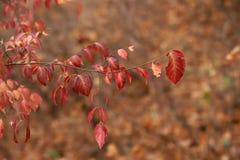 Ευρωπαϊκά φύλλα europaea Euonymus αξόνων στο φθινόπωρο στοκ εικόνες