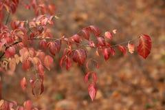 Ευρωπαϊκά φύλλα europaea Euonymus αξόνων στο φθινόπωρο στοκ εικόνες με δικαίωμα ελεύθερης χρήσης