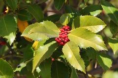 Ευρωπαϊκά φύλλα και φρούτα aquifolium της Holly Ilex Στοκ Φωτογραφίες