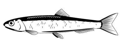Ευρωπαϊκά ψάρια αντσουγιών απεικόνιση αποθεμάτων
