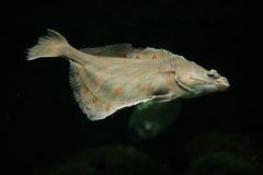 Ευρωπαϊκά ψάρια πλατεσσών στοκ φωτογραφία