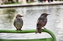 ευρωπαϊκά ψαρόνια σε ένα δημόσιο πάρκο στοκ φωτογραφία με δικαίωμα ελεύθερης χρήσης