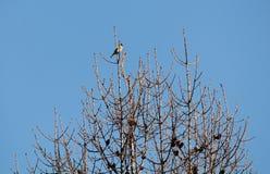 Ευρωπαϊκά carduelis goldfinch ή Carduelis που κάθονται πάνω από το δέντρο αγριόπευκων με τους γυμνούς κλάδους στο κλίμα μπλε ουρα στοκ φωτογραφίες